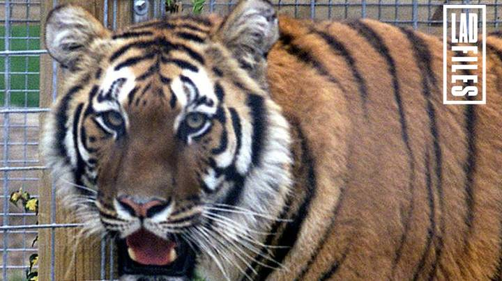 More Than 4,800 Dangerous Wild Animals, Including Tigers And Crocodiles, Are Kept Legally At UK Properties