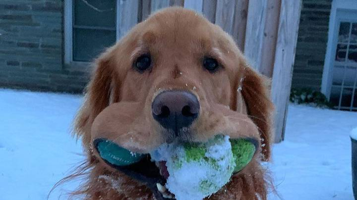 Finley The Golden Retriever Sets World Record For Most Tennis Balls In Mouth