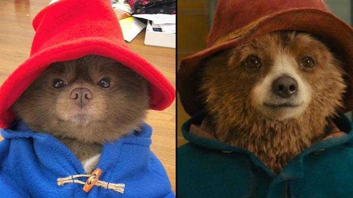 Pomeranian Dog Looking Exactly Like Paddington Bear Is The Best Thing You'll Ever See
