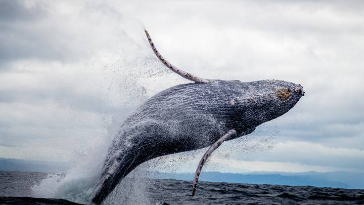 Research Shows Whales Actually Have Five Fingers Hidden In Their Flippers