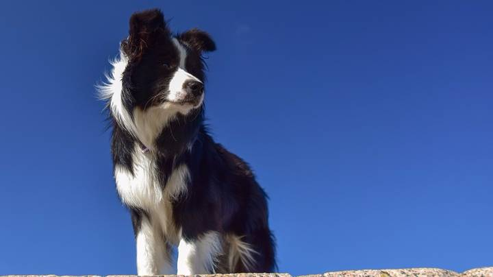 Nearly 600 Border Collies Gathered In Australia To Break A World Record