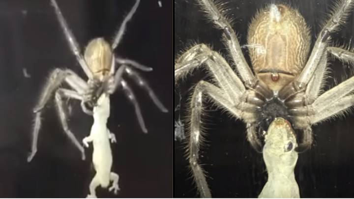 Huge Huntsman Spider Eats Lizard Next To Family Eating A Meal