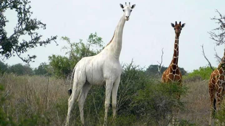 Poachers Kill Two Extremely Rare White Giraffes In Kenya
