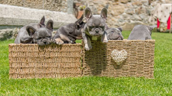 Litter Of Six French Bulldog Puppies Worth An Incredible £16,200