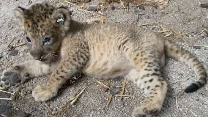 Zoo Celebrates Birth Of Lion Cub Simba Born From Sperm Of Late Father Mufasa