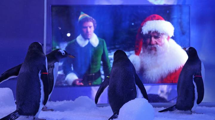 Gentoo Penguins At London Aquarium Treated To Christmas Film Screenings During Lockdown