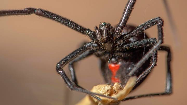 Three Brothers Let Black Widow Spider Bite Them In Hopes It Will Cause Superpowers