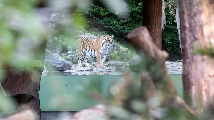 Zookeeper Killed By Siberian Tiger At Zoo Zurich In Switzerland