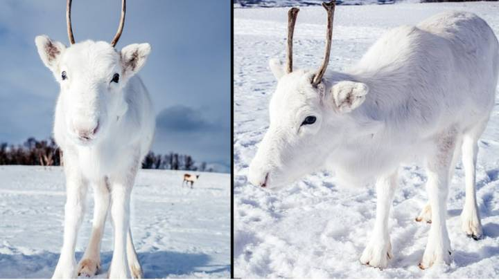 Rare White Reindeer Spotted In The Wild in Norway