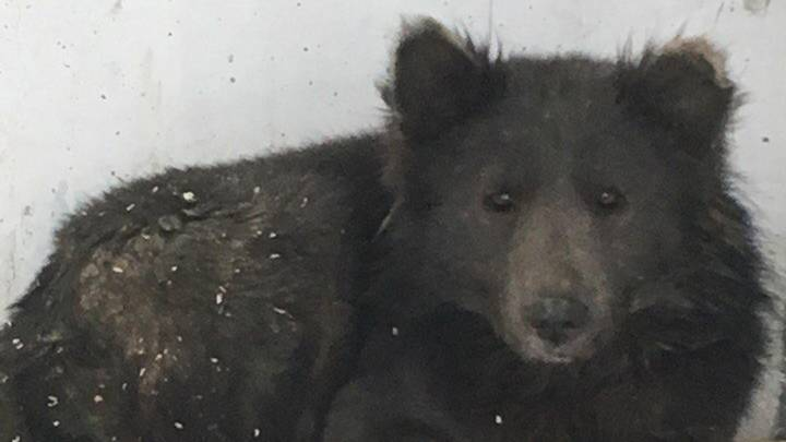 People Can't Work Out Whether This Animal Found In Russia Is A Dog Or A Bear