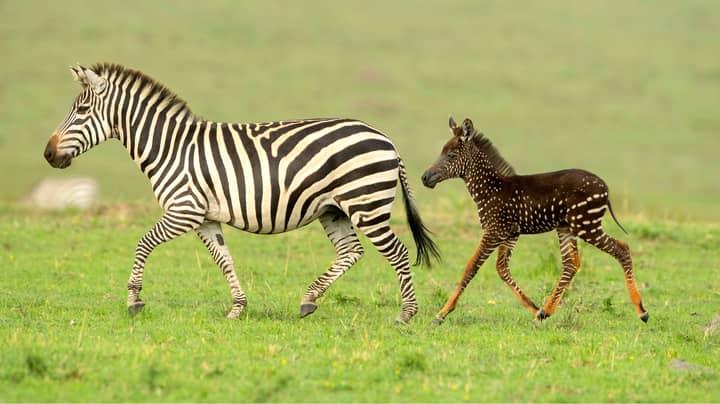 Rare Spotted Zebra Photographed At Kenyan Wildlife Reserve