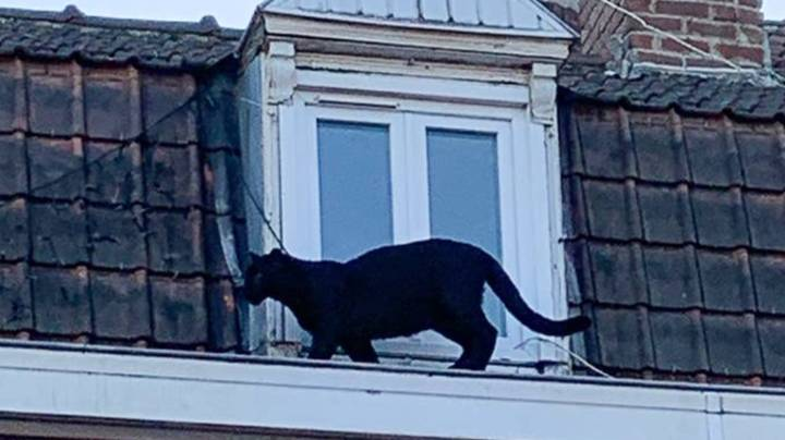 Black Panther Spotted Prowling Around French Town