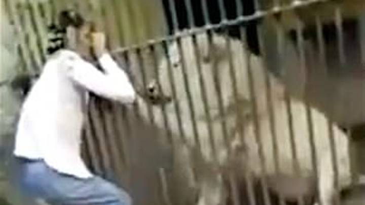 Zookeeper Attacked By Lion In Front Of Visitors During Feeding Time