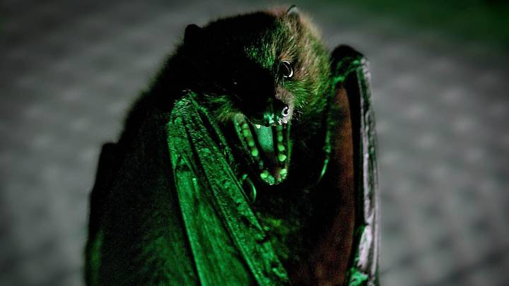 Study Finds That Vampire Bats Socially Distance When They Are Ill