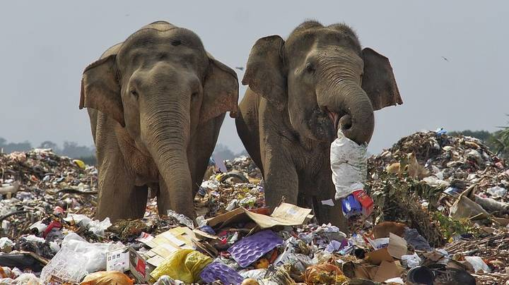 Herd Of Elephants Seen Foraging In Rubbish Dump For Food