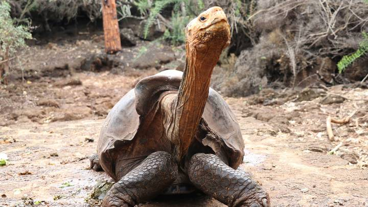 Sex-Mad Tortoise Who Saved His Species From Extinction Has Retired