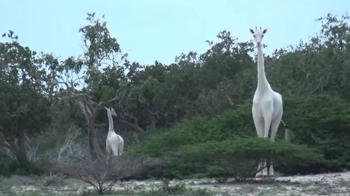 Rare White Giraffes Caught On Film For First Ever Time