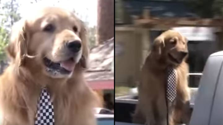 Town In America Chooses Max The Golden Retriever To Be Its Mayor
