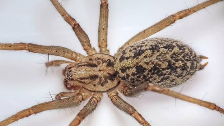 Breeding Season Set To See 150 Million Spiders Invade British Homes