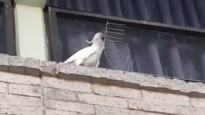 Cockatoo Removes Anti-Nesting Spikes And Throws Them Away