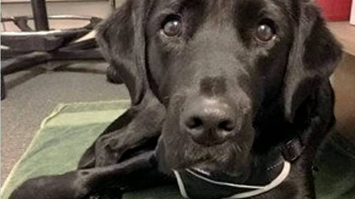 Labrador Has Been Sacked From Guide-Dog Training For Chasing Squirrels