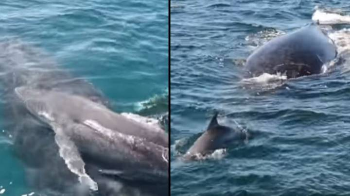 Pod Of Dolphins Protect Humpback Whale And Calf From Group Of Five Males