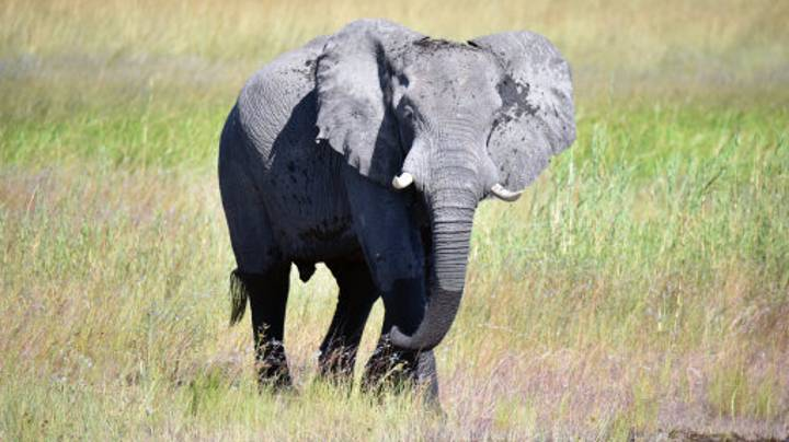 White House Allows Hunters To Import Heads of Killed African Elephants