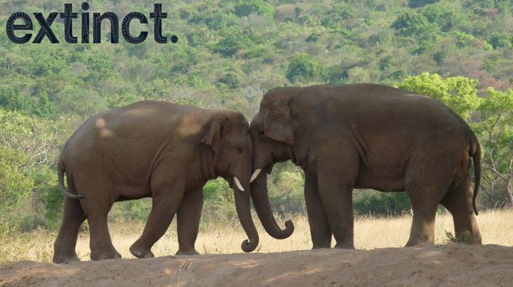 Elephants Are Evolving To Not Have Tusks Due To Poaching