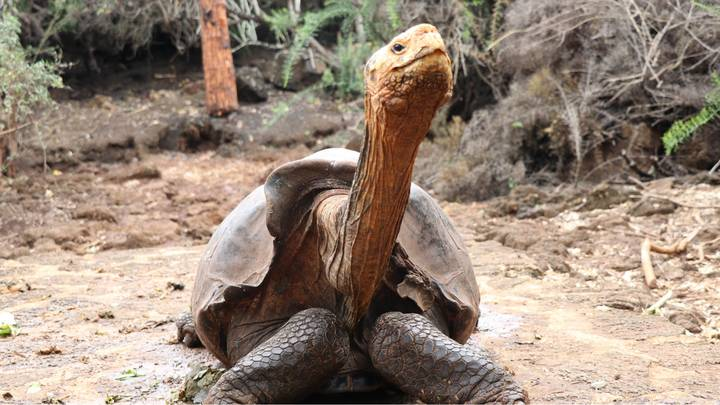 Giant Tortoise Fathers 800 Babies, Saving Its Species