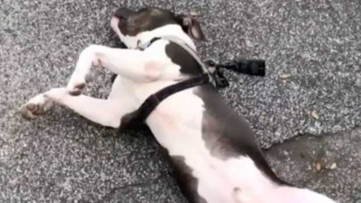 Dog Plays Dead To Avoid Going Home While On His Lockdown Walk