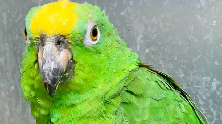 Singing Parrot Smashes Rendition Of Hit Tunes By Beyoncé