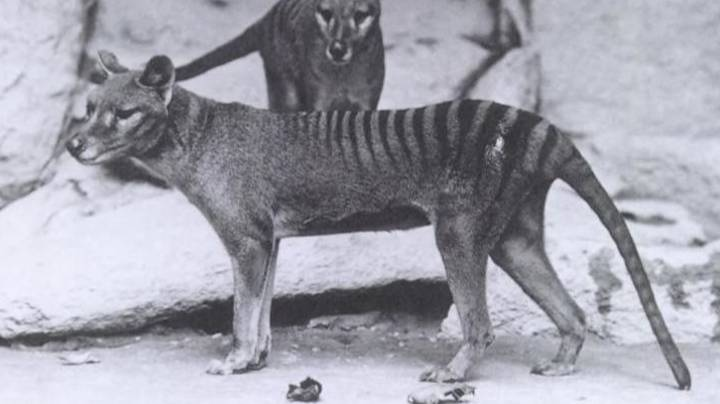 Experts Disprove Aussie Man's Evidence Of Thylacine Family Sighting