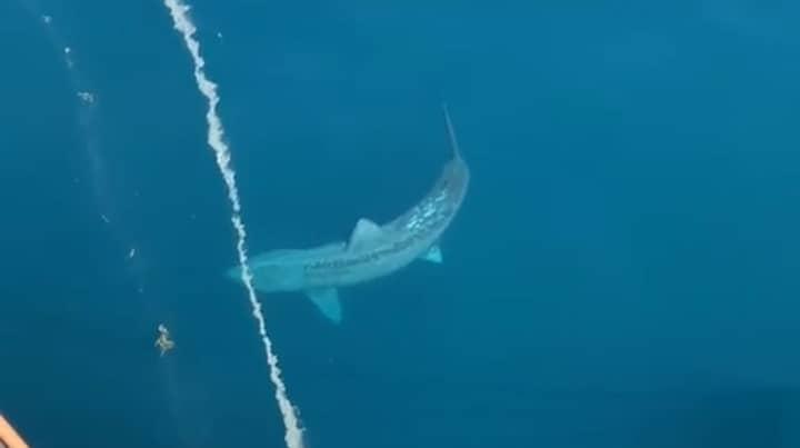 Gigantic Shark Spotted In Atlantic Sparks 'Megalodon' Fears For Some