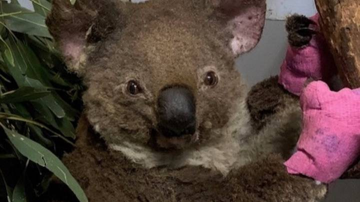 Fundraiser To Help Koala Hospital Dealing With Bushfires Hits $140,000 In Donations