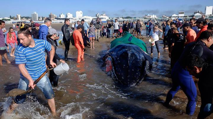Community Comes Together To Rescue Beached Humpback Whale