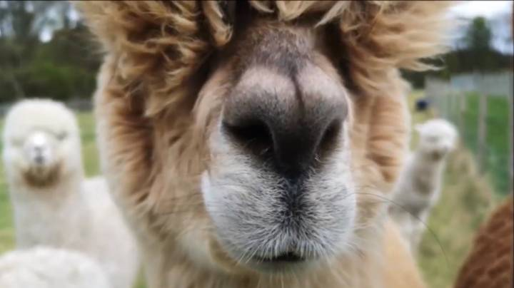 Donate To Charity For A Meet And Greet Zoom Call With Some Alpacas