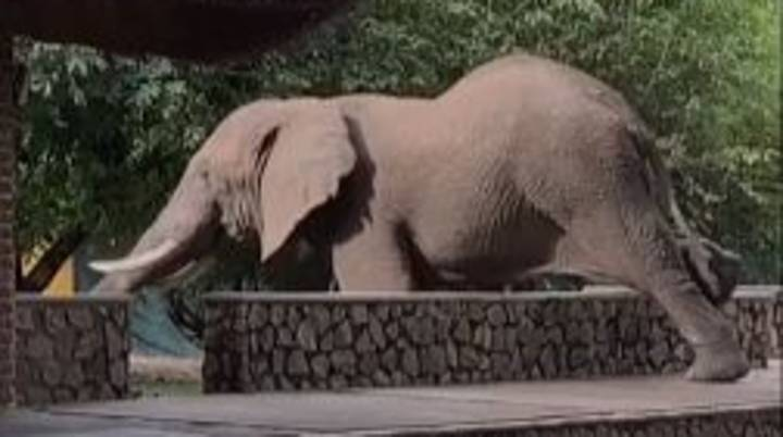 Watch As This 'Unusually Agile' Elephant Clambers Over Wall To Steal Mangos