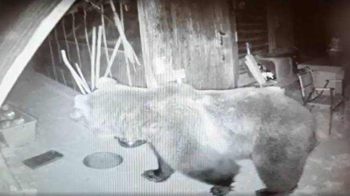 Brown Bear Captured In Italy After Nine Months On The Loose
