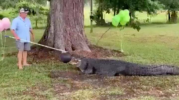 Florida Couple Uses Alligator For Gender Reveal Party