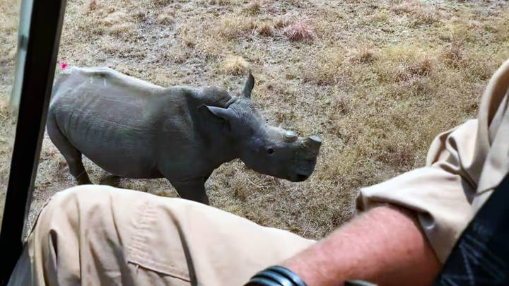 Rhinos Dehorned By Conservationists In South Africa To Protect Them From Poachers