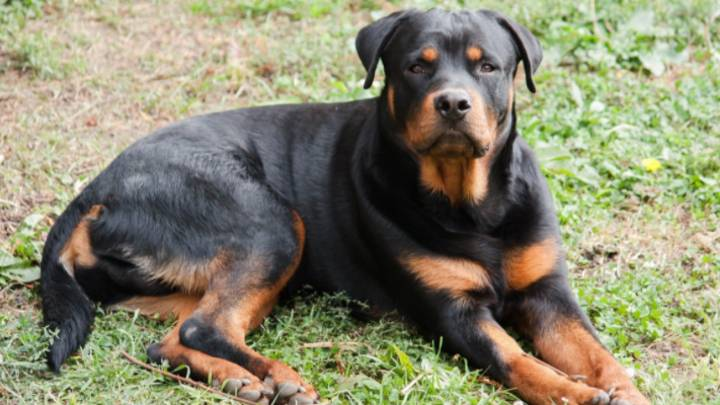 Family Dog Ordered To Be Put Down After Mauling Five-Year-Old Australian Boy