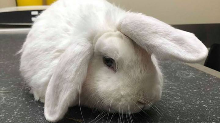 RSPCA Launches Christmas Appeal To Find Home For 'Unicorn' Rabbit
