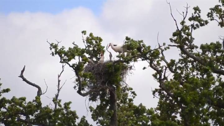 Wild White Stork Chicks Hatch In UK For The First Time In 600 Years