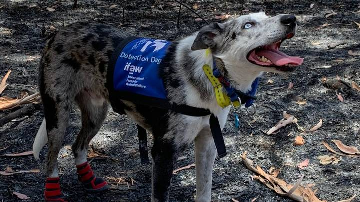 Bear The Koala Detection Dog Has Been Tasked With Finding Koalas That Have Survived The Bushfires