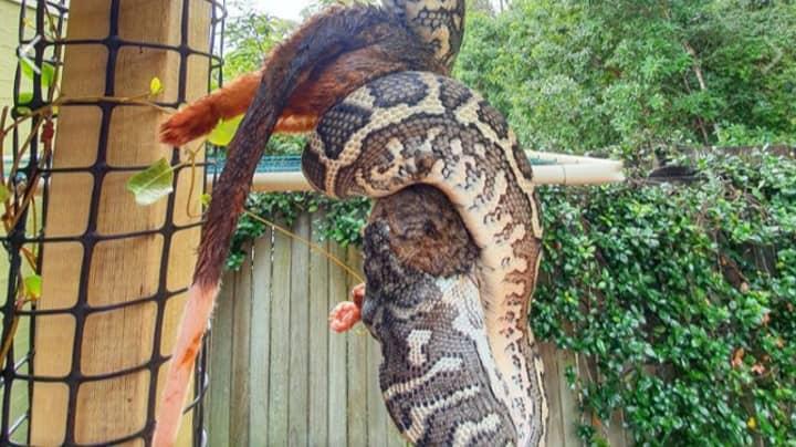 Humungous Python Captured Eating Possum In Australian Backyard