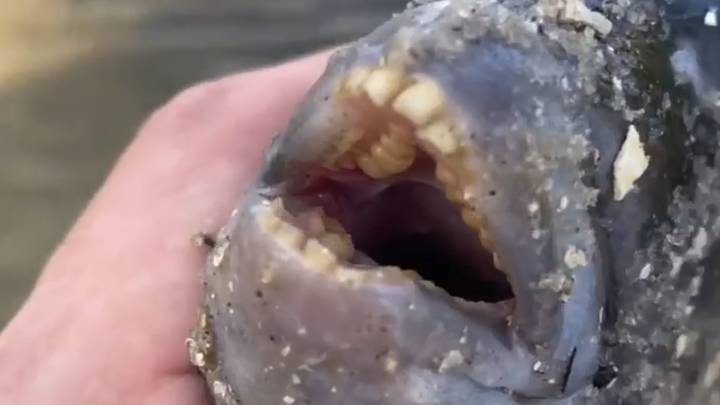 Fisherman Catches Fish With 'Human-Like' Teeth In Florida