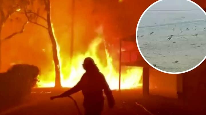 Heartbreaking Video Shows Kangaroos Fleeing Bushfires