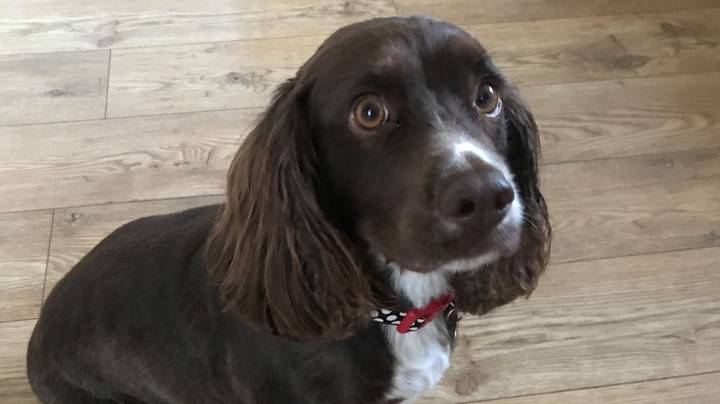 Dog Walker Forgets Ball - Cocker Spaniel Finds Dildo To Play With Instead