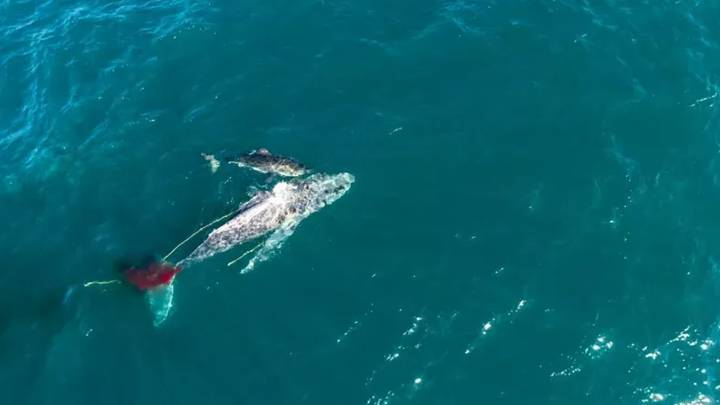 Great White Shark Filmed Attacking And Drowning Humpback Whale