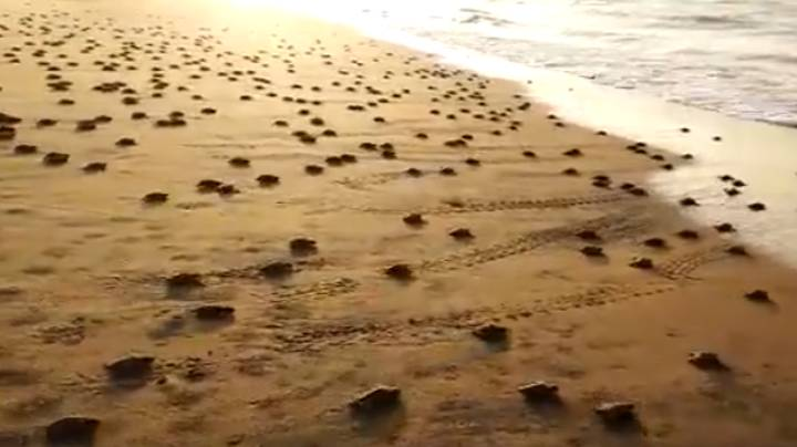 More Than 20 Million Baby Turtles Crawl To The Sea For First Time